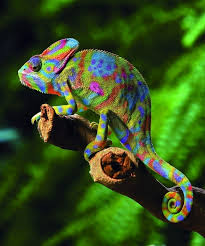 multi-color chameleon